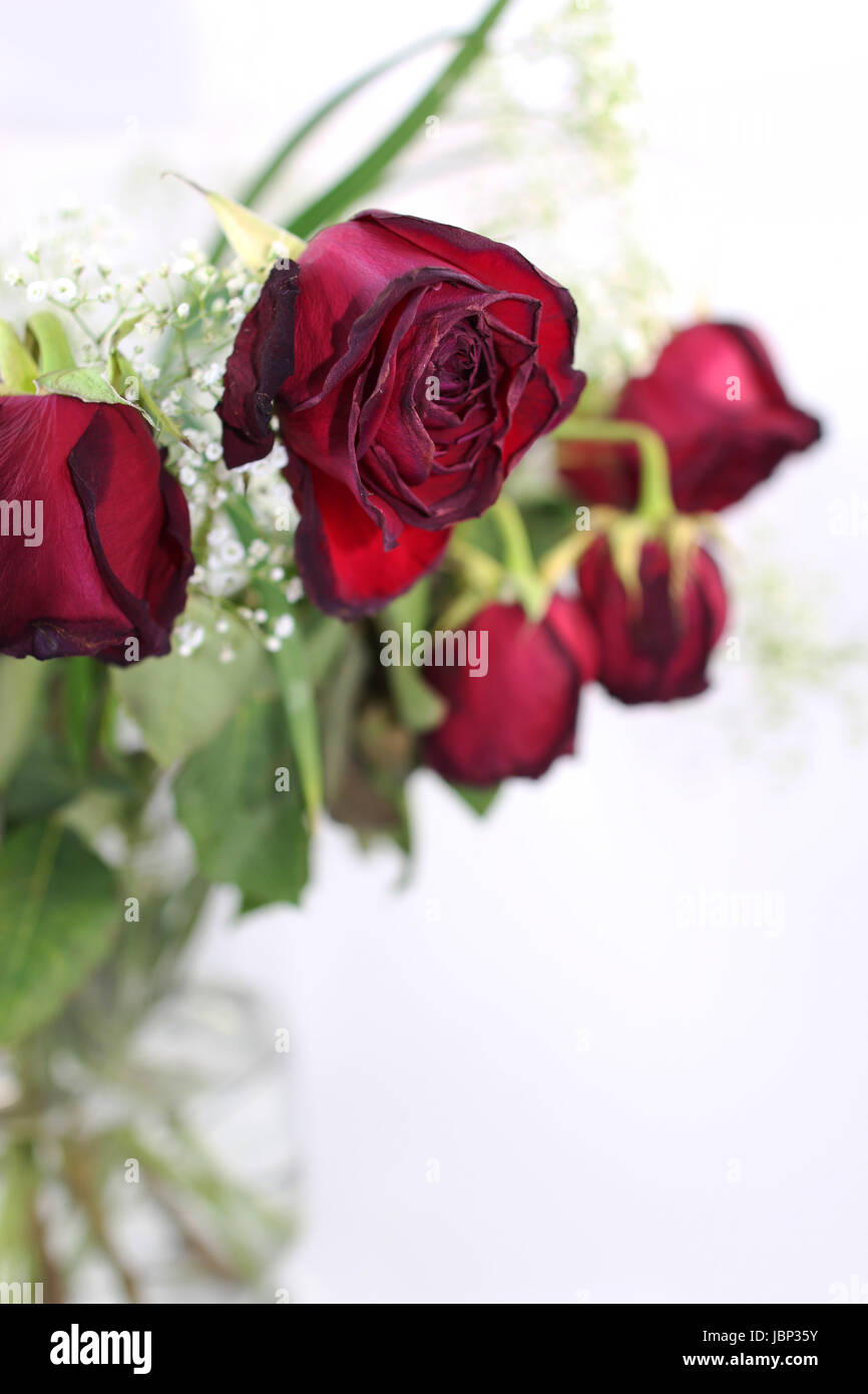 A bouquet of withered roses, close up - Stock Image