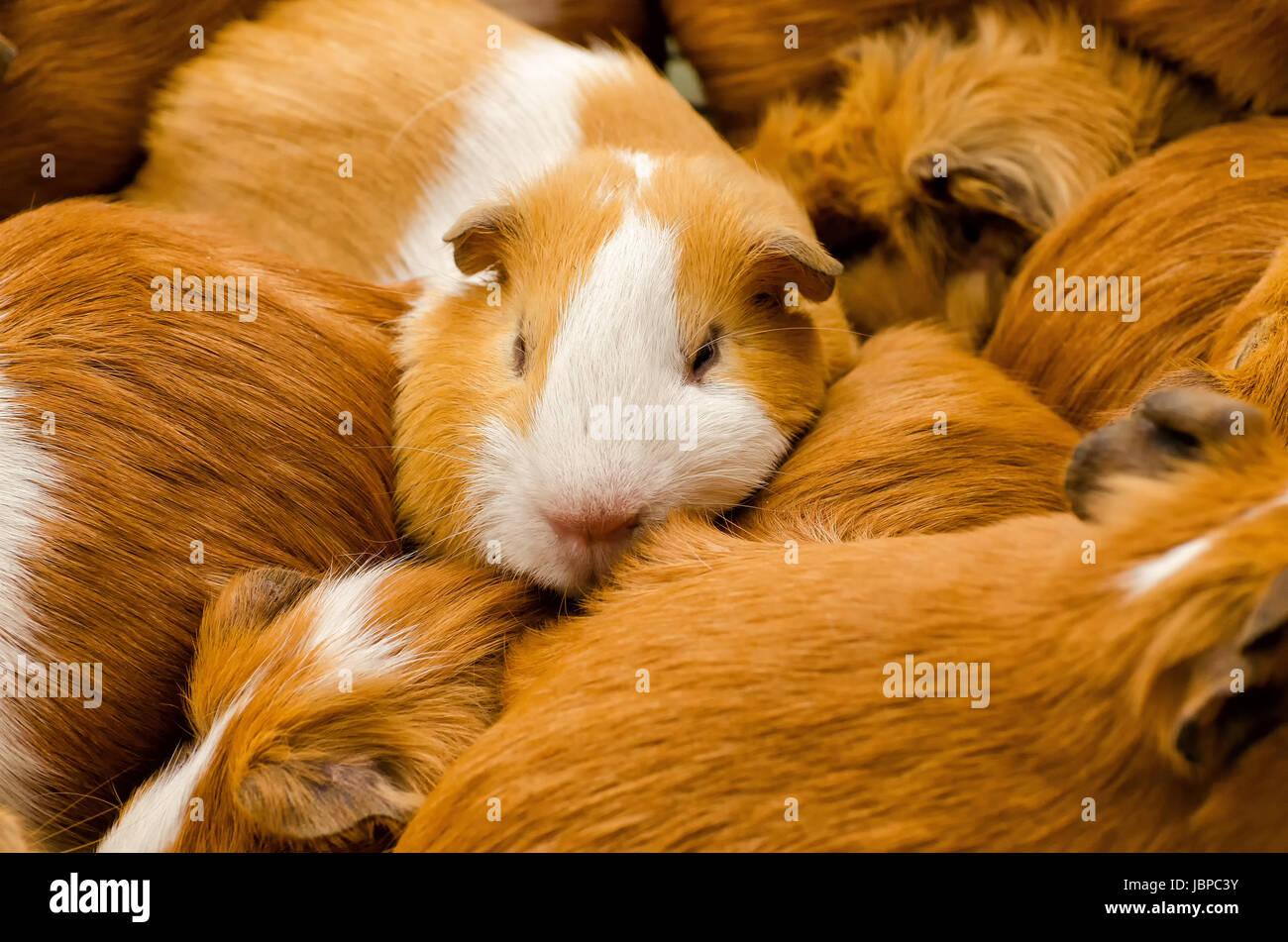 guinea pig on a market in ecuador - Stock Image