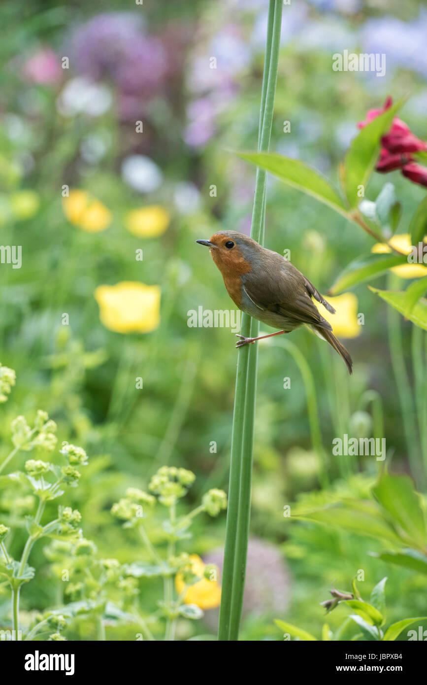 Erithacus rubecula. Robin on an allium stem in an english cottage garden. UK - Stock Image