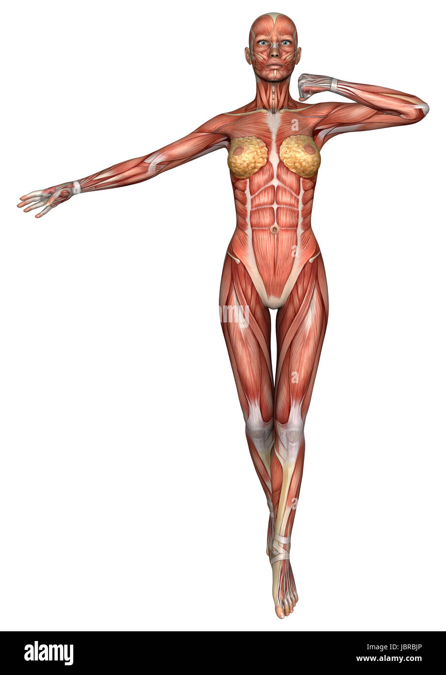 3D digital render of an exercising female anatomy figure with ...