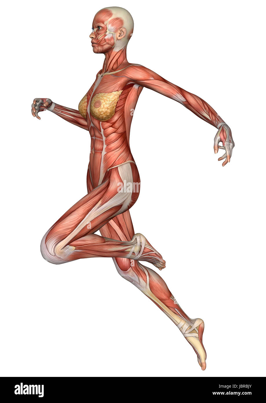 3D digital render of a running female anatomy figure with muscles ...