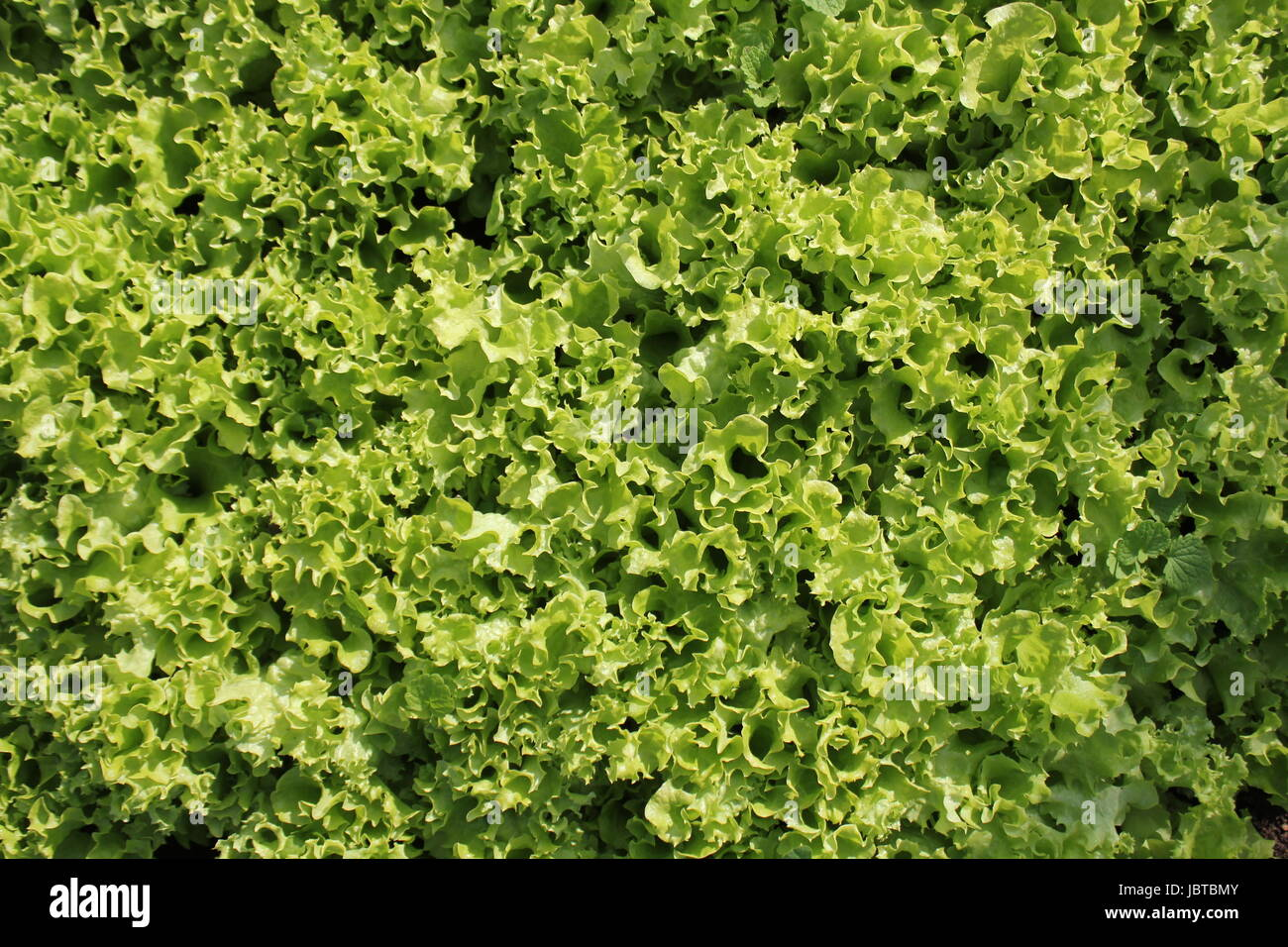 Fresh green curly Lettuce salad background. Top view - Stock Image