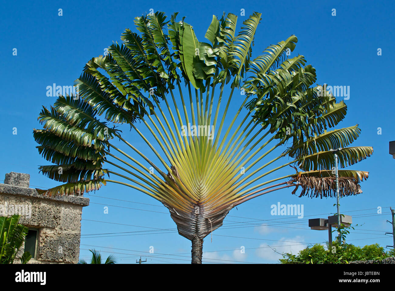 The Travelers Palm Tree Is A Part Of The Bird Of Paradise Family And