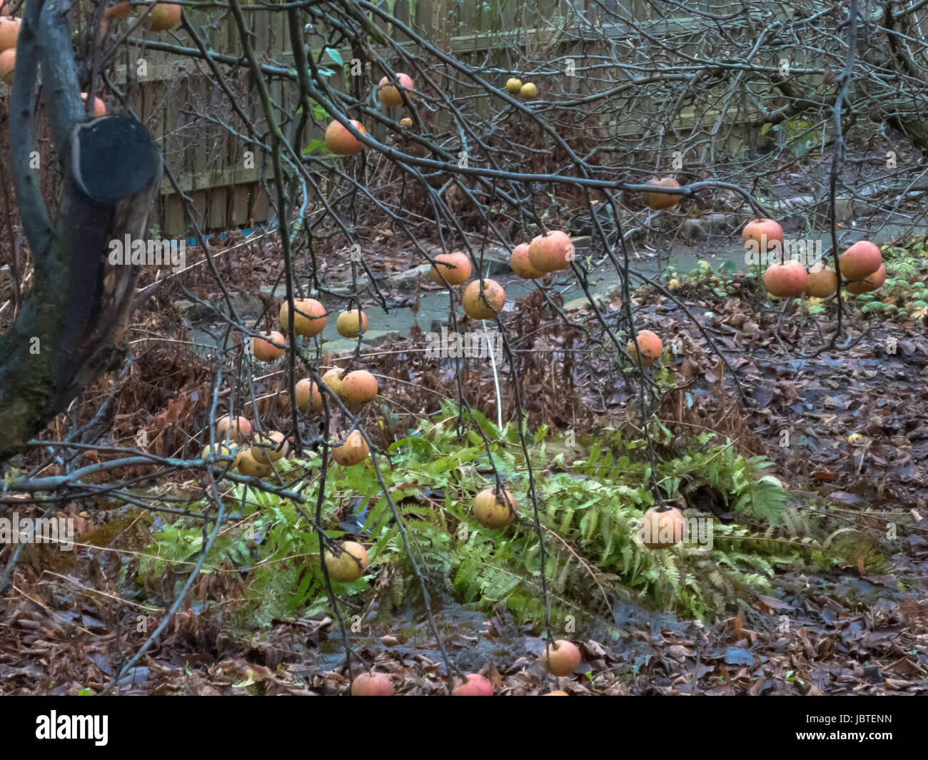 Äpfel am Baum im Spätherbst / apples on tree in late autumn - Stock Image