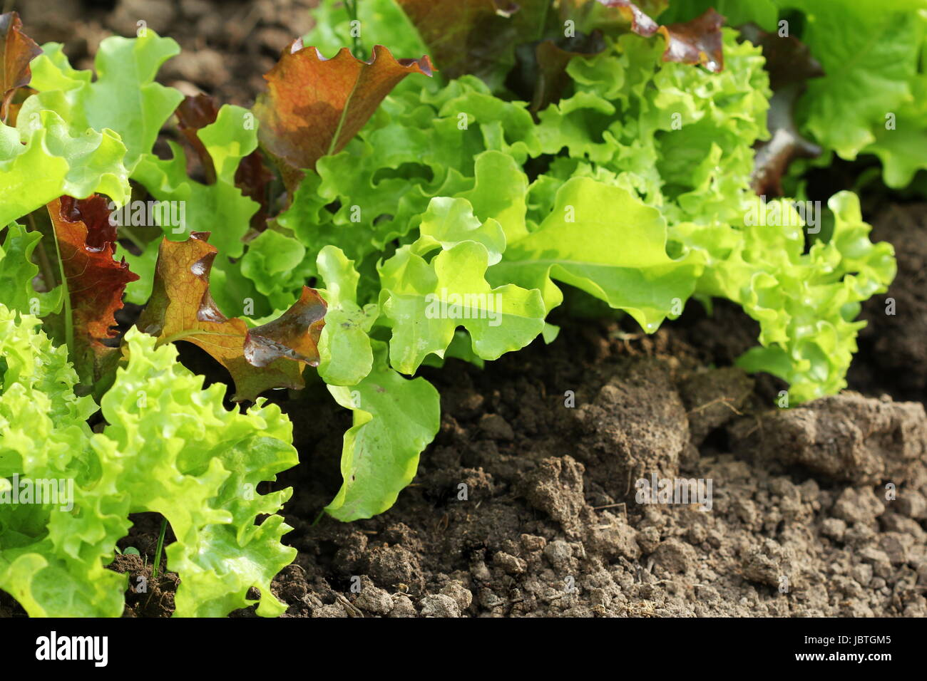 Fresh green aand red curly lettuce growing in bed. Ssalad background. Top view - Stock Image