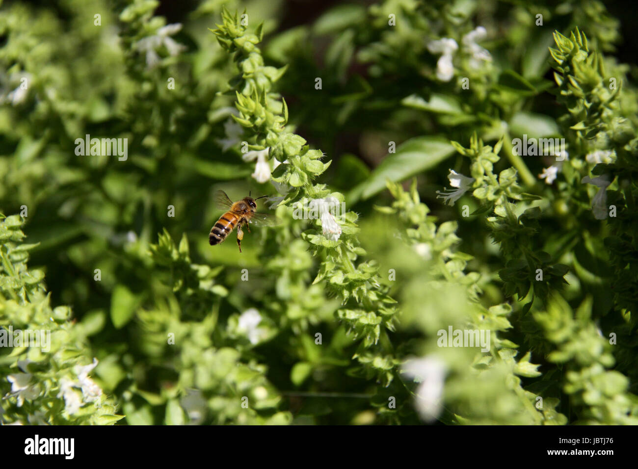 Macro (close up) of bee flying around white basil flowers taken with a high shutter speed - Stock Image