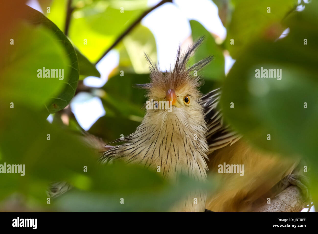Close up of Guira cuckoo in a tree, Amazon, Brazil - Stock Image