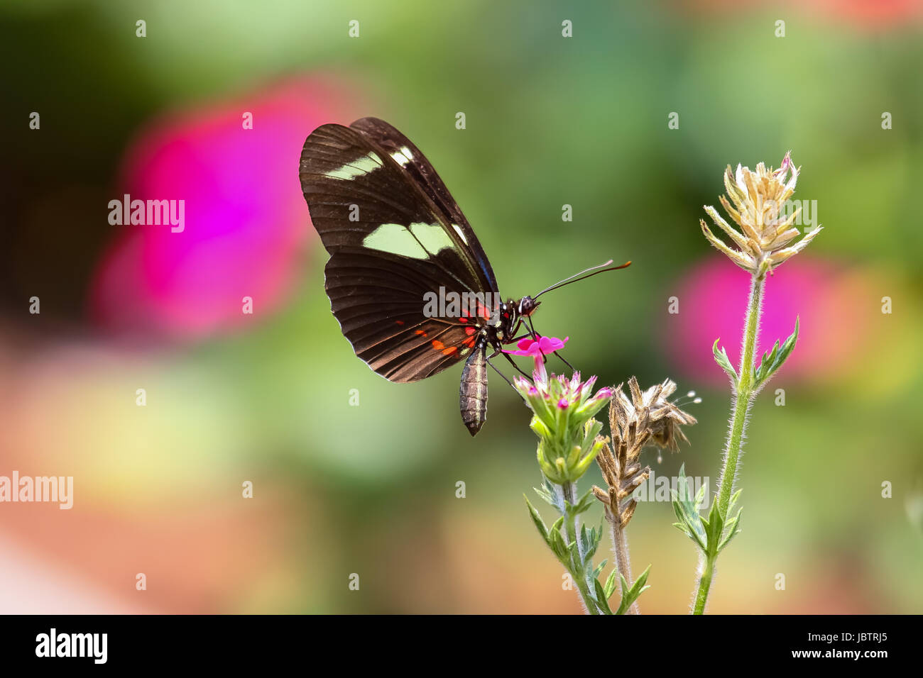 Close up of butterfly Heliconius cydno galanthus on a flower, Amazon, Brazil - Stock Image