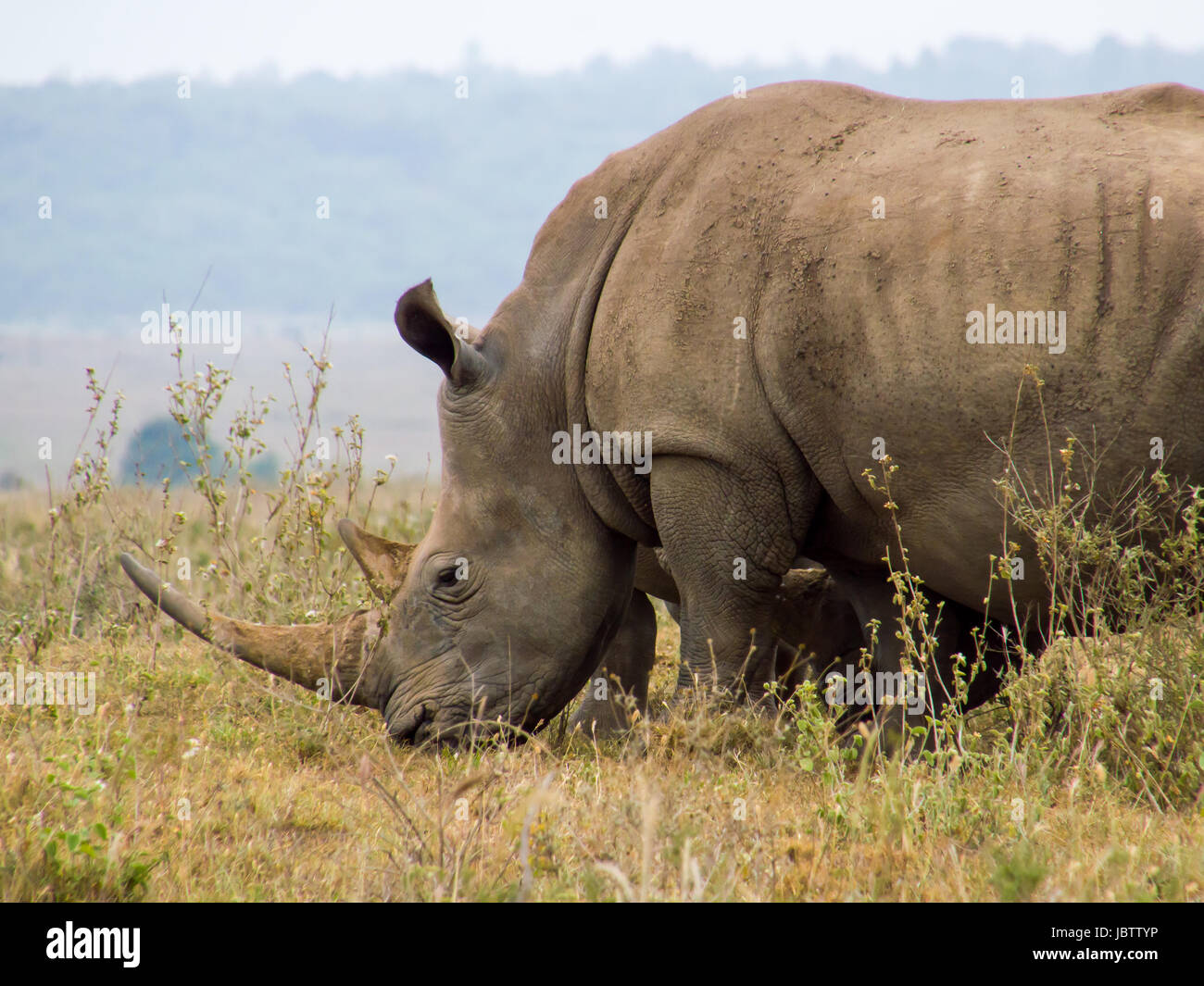 Rhinoceros Grazing in Nairobi National Park - Stock Image