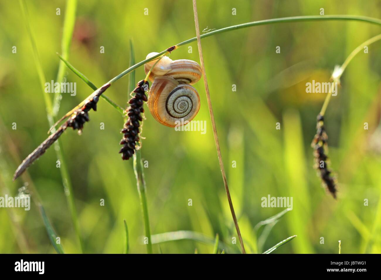 two heath snails at bluegreen sedge (carex flacca) - Stock Image