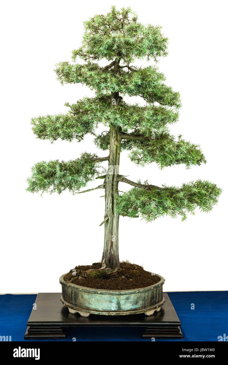 Gruner Wacholder Juniperus Communis Als Bonsai Baum Stock Photo Alamy
