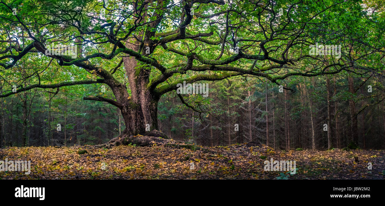 Scenic and big oak at autumn day in Finland. This oak is over 400 years old. - Stock Image