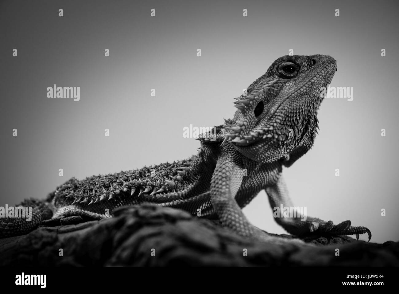 pogona - eastern bearded dragon - black and white animals portraits - Stock Image