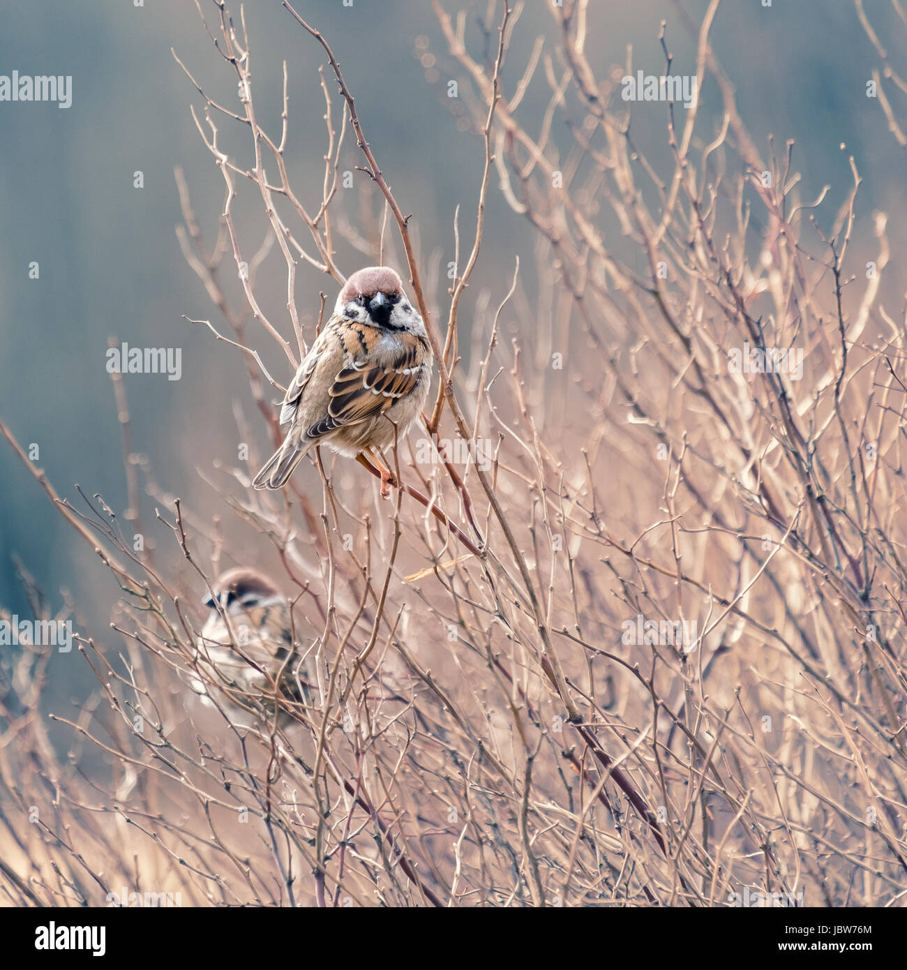 Little cute sparrow sitting on the branch - Stock Image