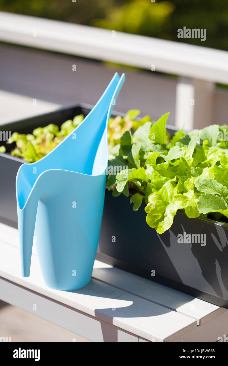 growing radish and salad in container on balcony. vegetable garden ...