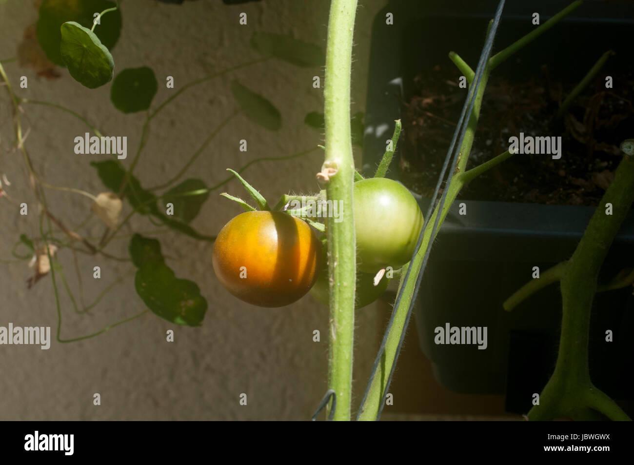 Tomato ripens on a bush in an urban community garden. Self grown ...