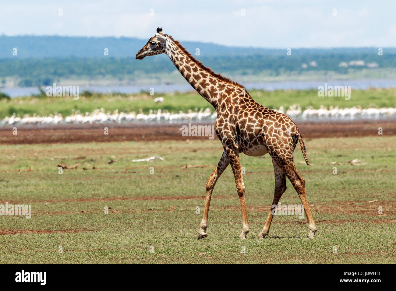 A Masai Giraffe walking away - Stock Image