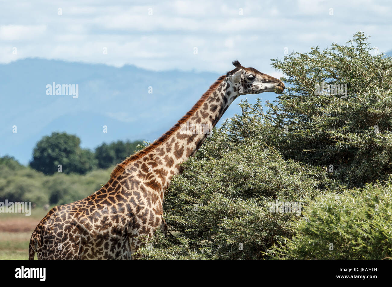A Masai Giraffe feeds on the top of Acacia tree - Stock Image