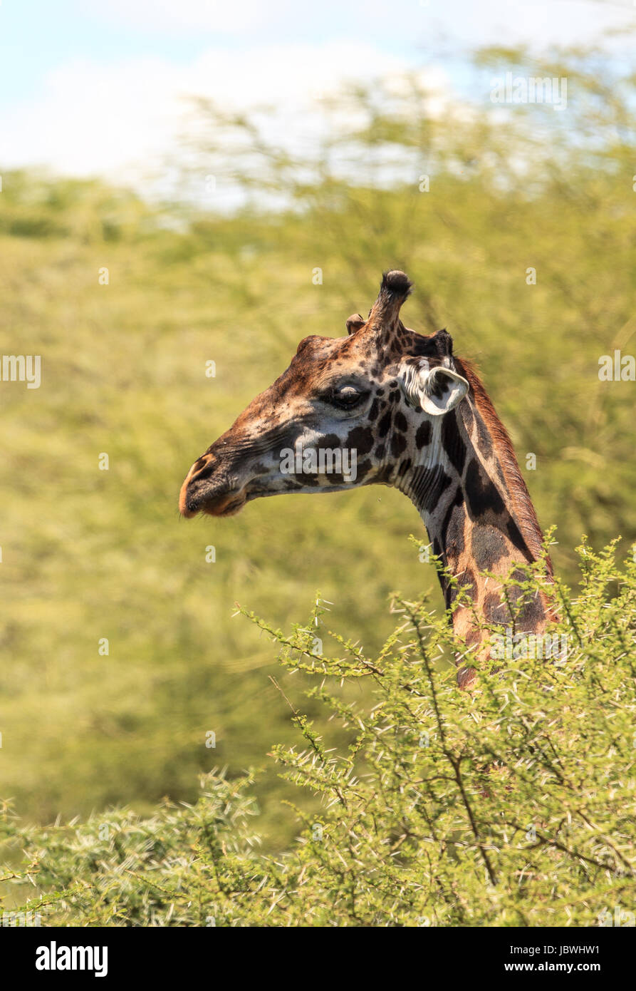 A portrait of a Masai Giraffe - Stock Image