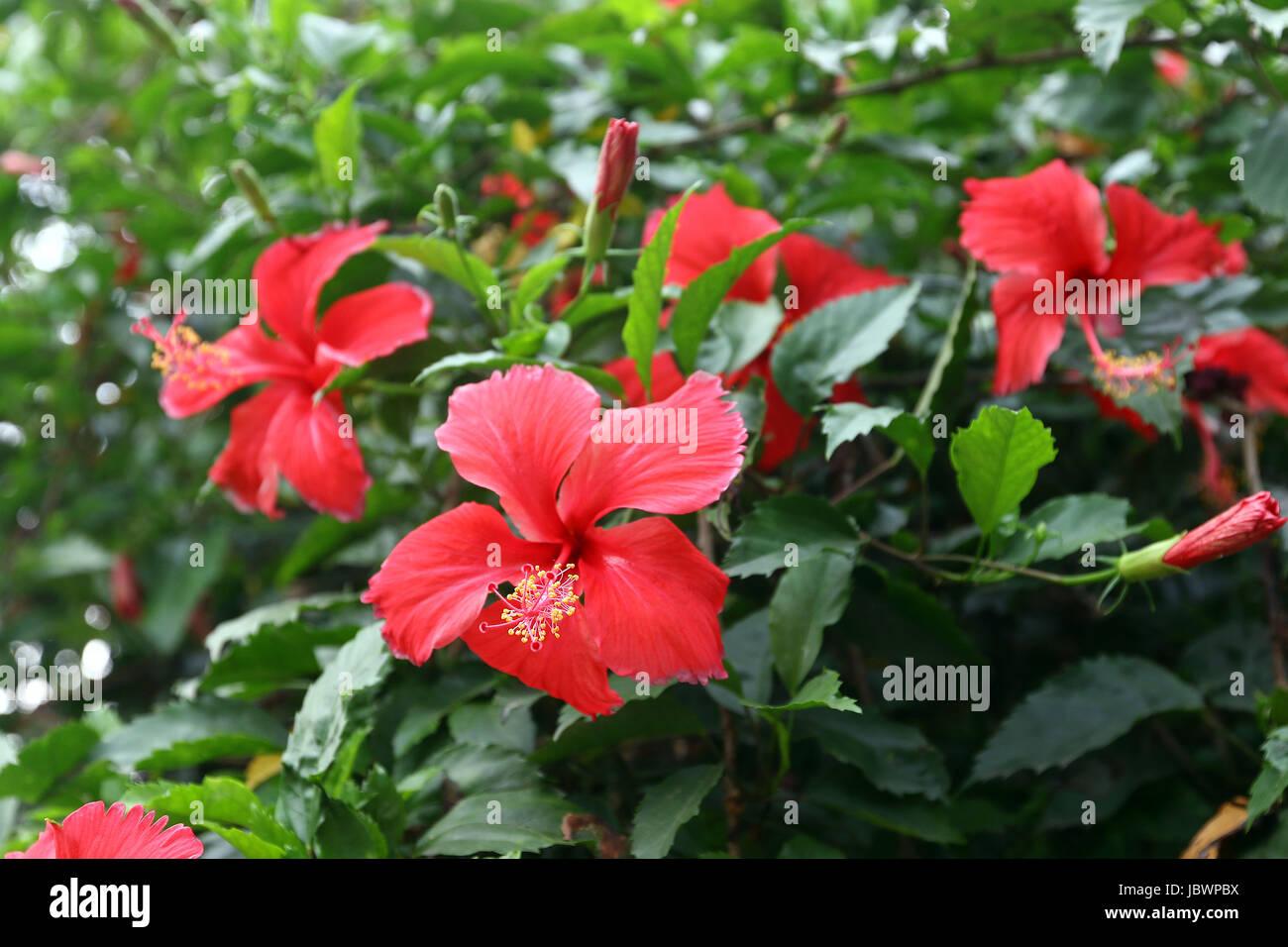 Red hibiscus flower hibiscus rosa sinensis stock photo 145010542 red hibiscus flower hibiscus rosa sinensis izmirmasajfo