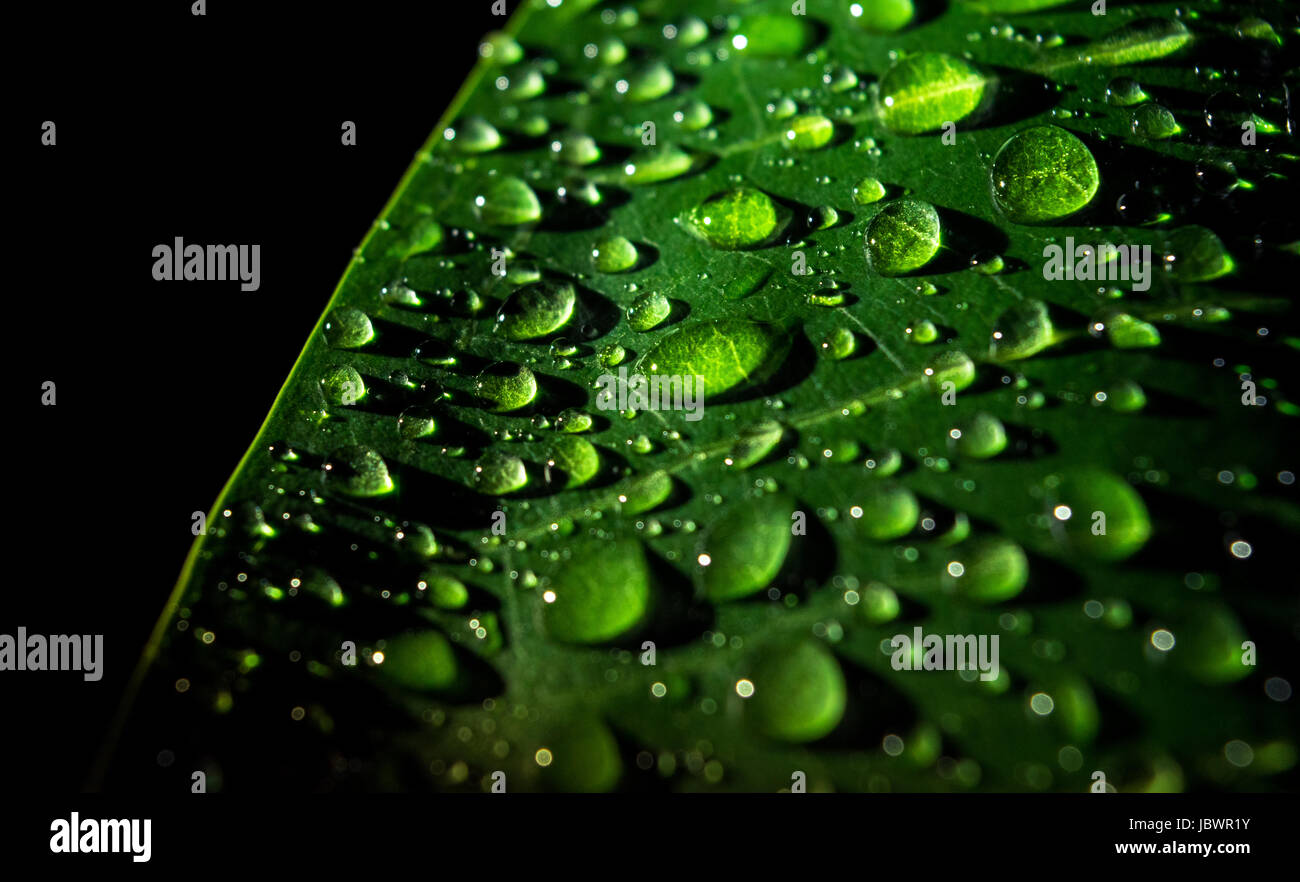 Water droplets on a leaf. - Stock Image