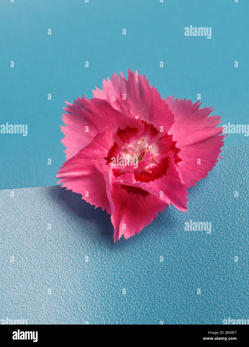 Dianthus carnation. Carophyllaceae. On blue background - Stock Image