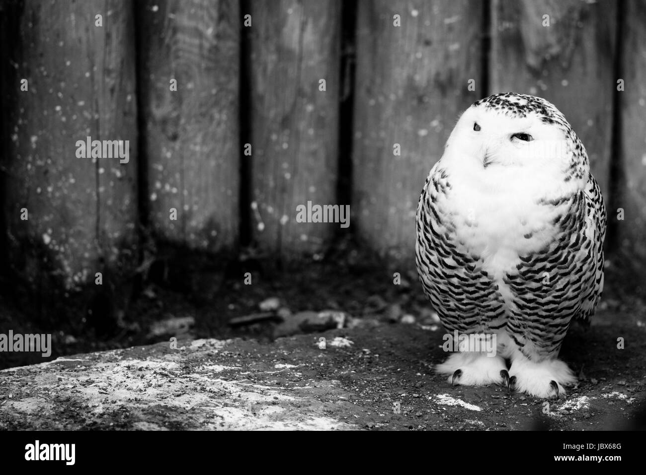 Snowy Owl Face Black And White Stock Photos Images Alamy