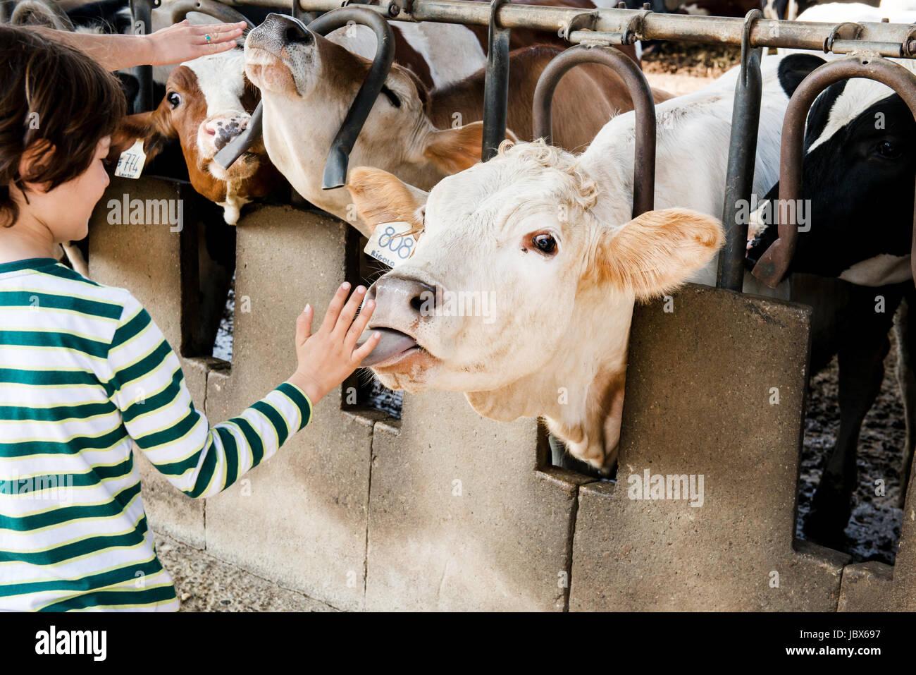 Cow licking boy's hand on organic dairy farm - Stock Image