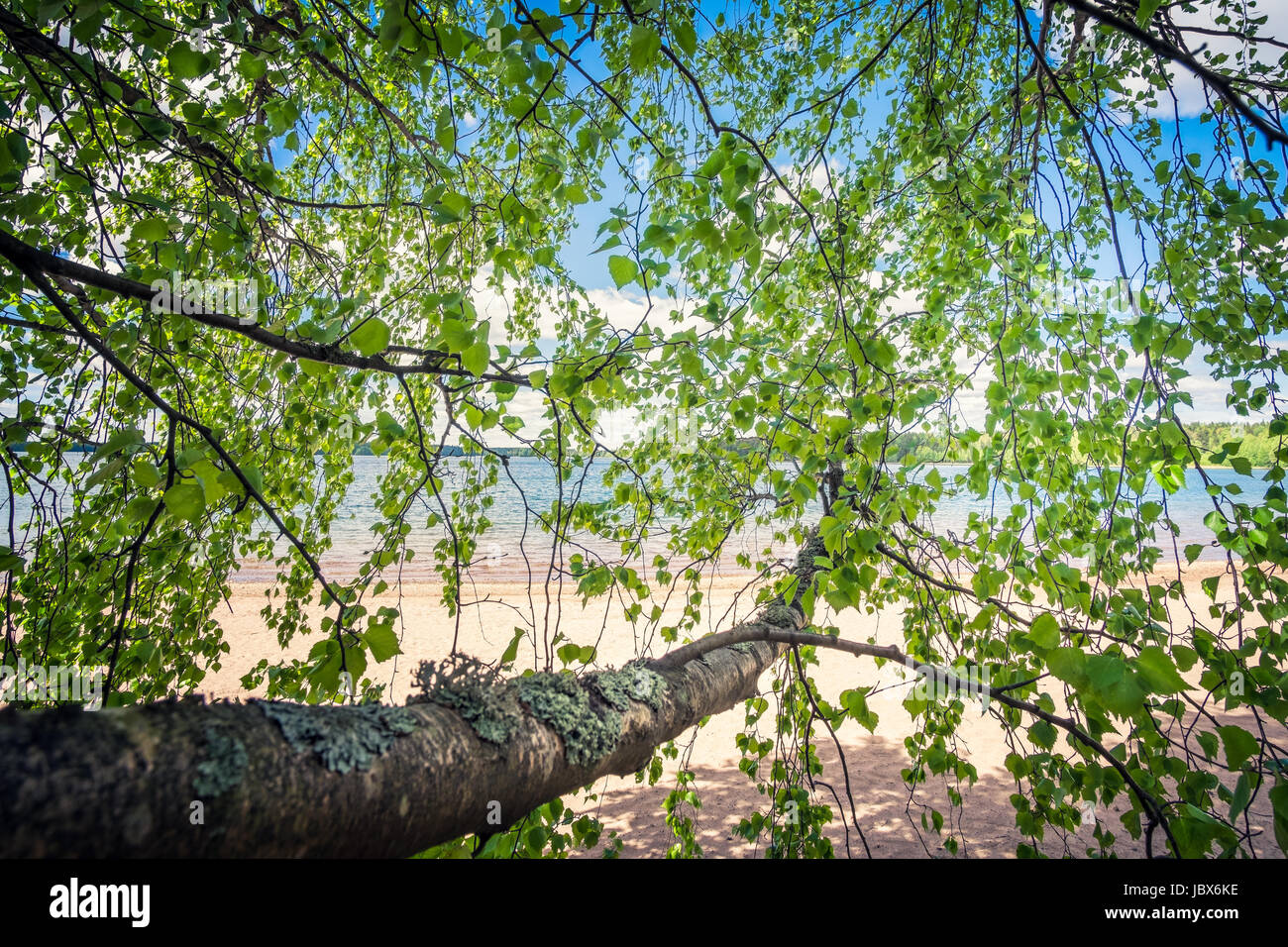 Birch tree with green leaf and beach landscape at bright summer day in Finland Stock Photo