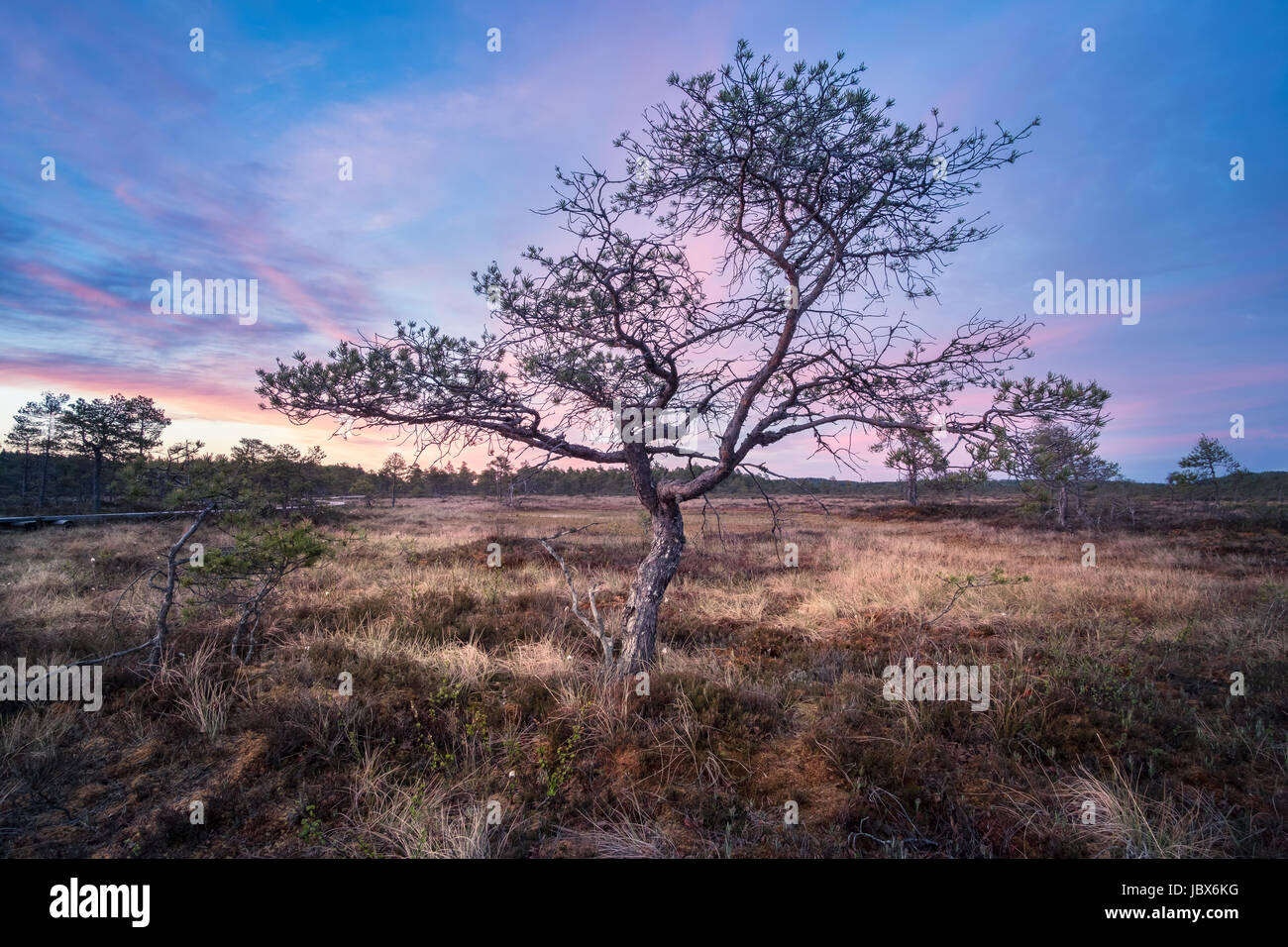 Little tree with sunrise at summer night in National Park, Torronsuo, Finland - Stock Image