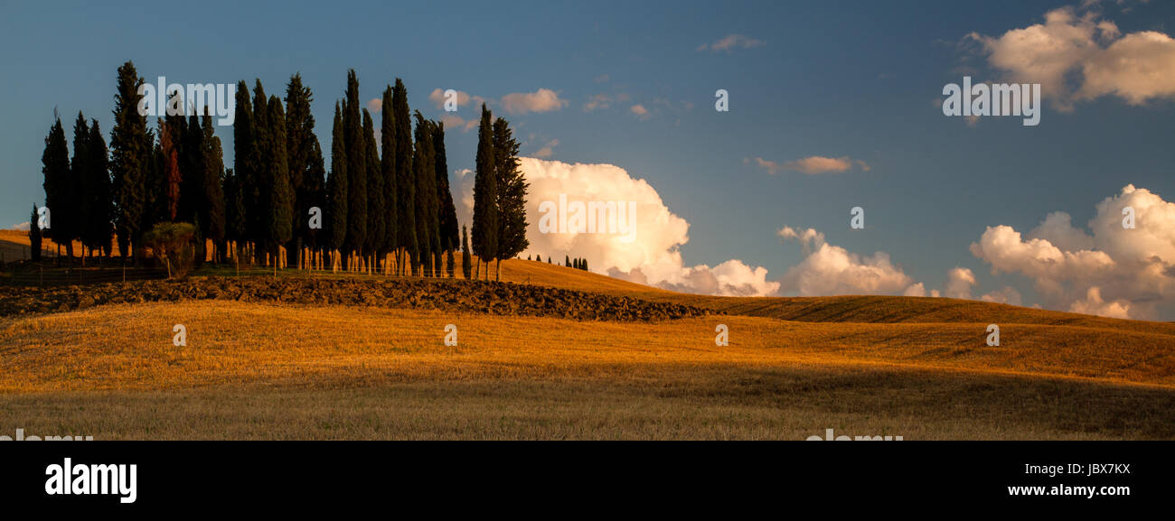 The Clump - A famous grouping of cypress trees stands alone in a rolling field of barley. - Stock Image