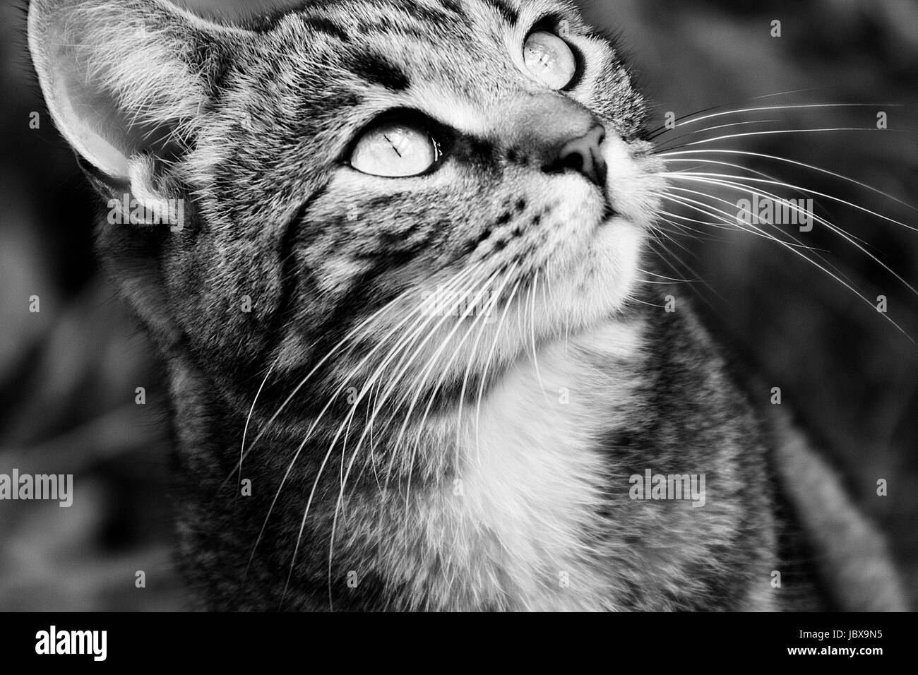 Close up portrait of an isolated female young tabby cat in black and white - Stock Image