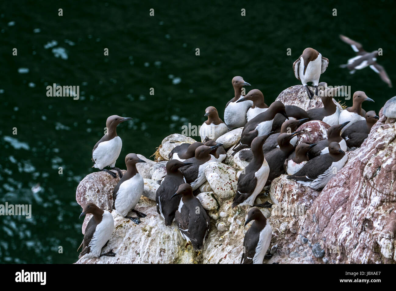 Densely packed breeding colony of common murres / common guillemots (Uria aalge) nesting in spring on rock ledges in sea cliff face, Scotland, UK Stock Photo