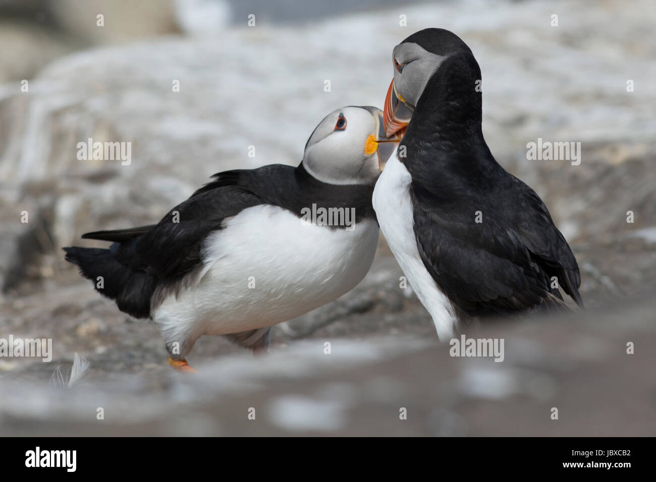 Pair of puffins billing - Stock Image