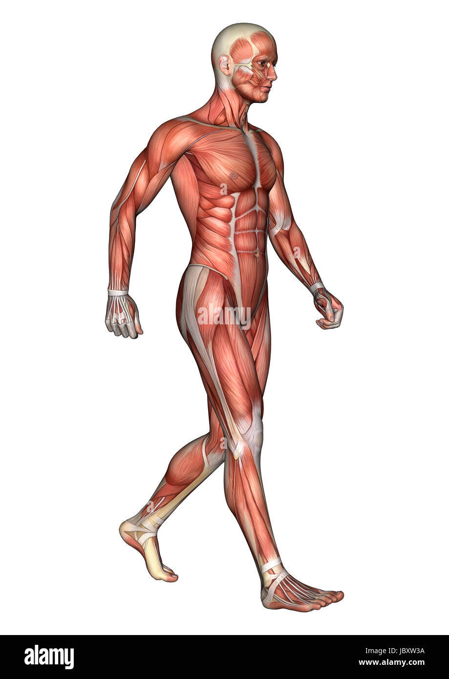 3D digital render of a walking male anatomy figure with muscles map ...
