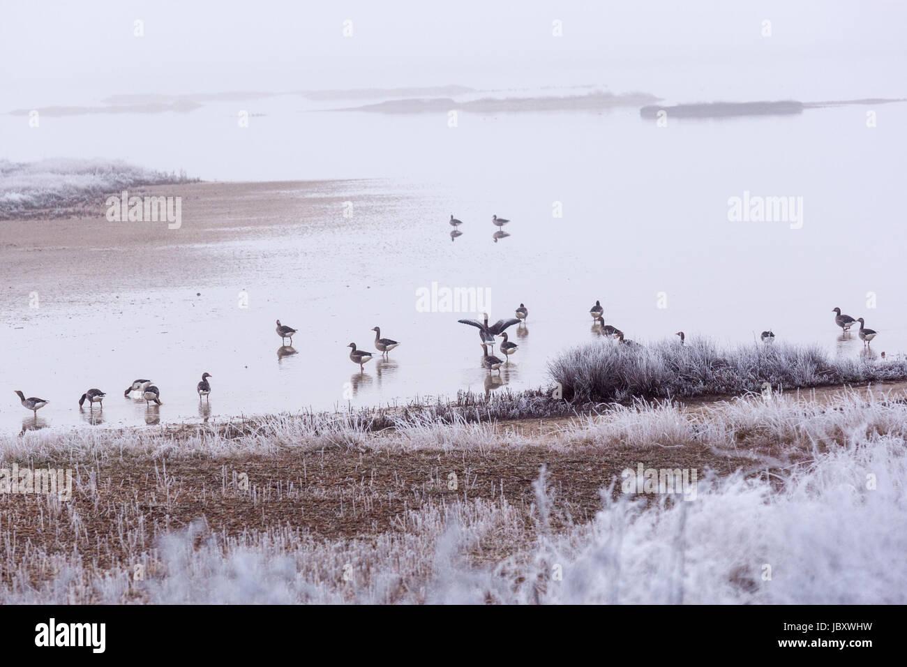 Gooses in Reserva natural de Lagunas de Villafáfila in winter, Zamora province, Castilla y Leon, Spain - Stock Image