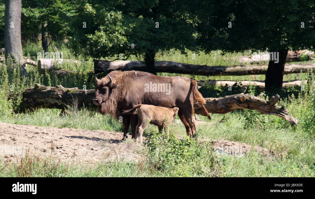bison with young Stock Photo