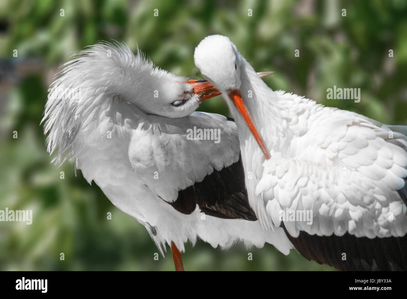 Image animals two birds beautiful white cranes - Stock Image