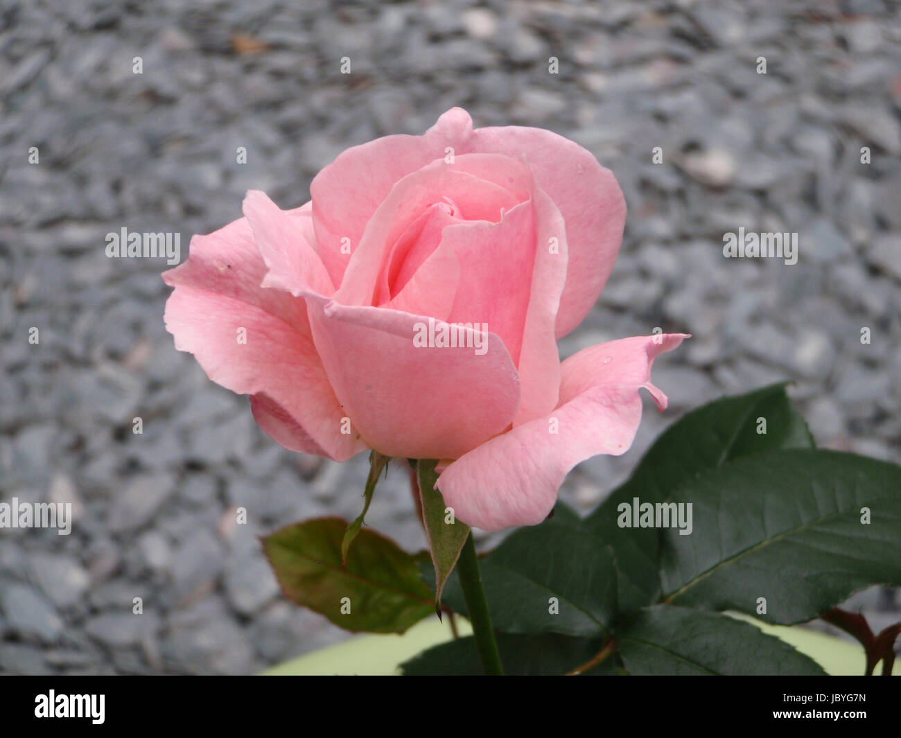Pale pink rose with grey slate background - Stock Image
