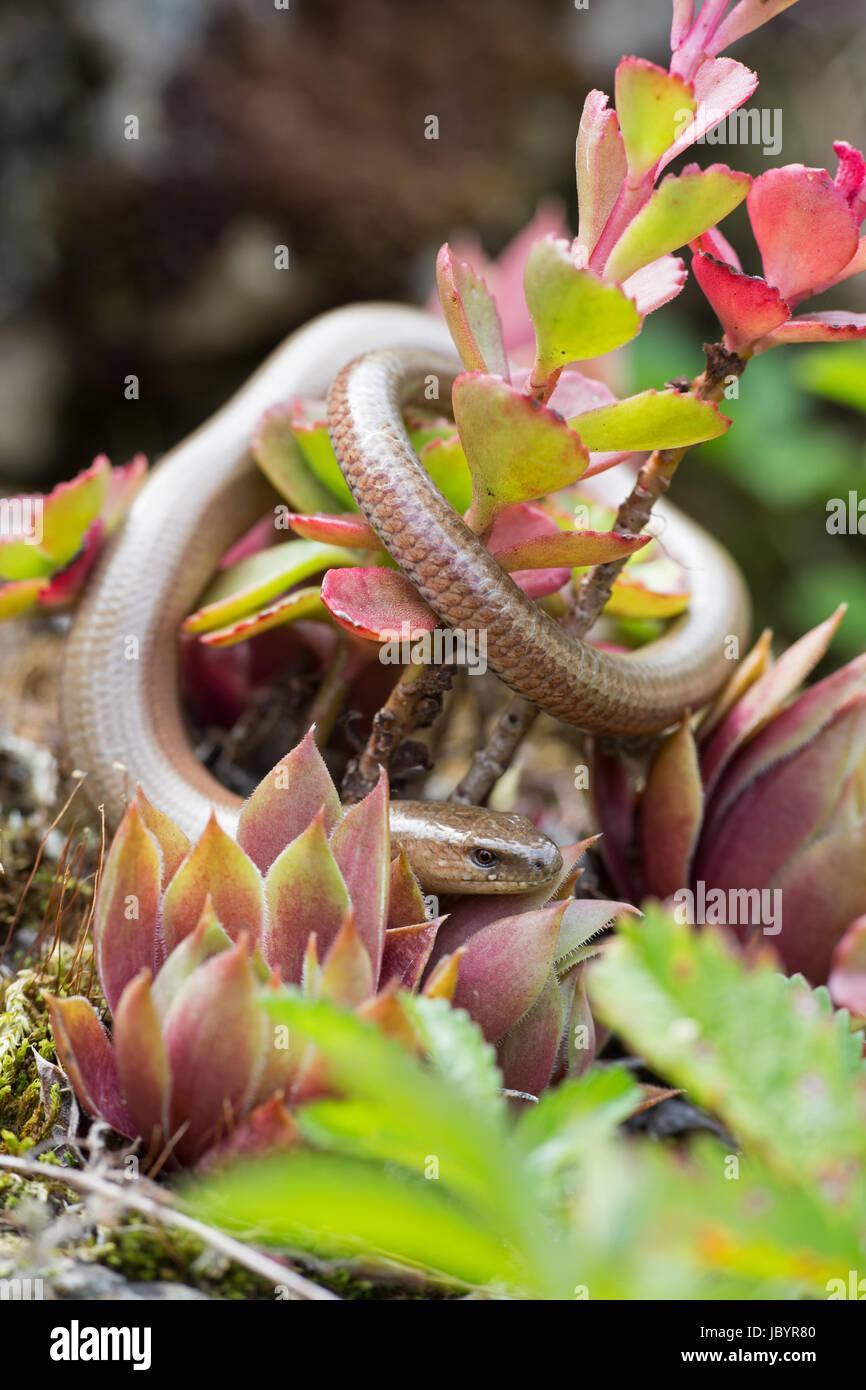 blind worm Stock Photo