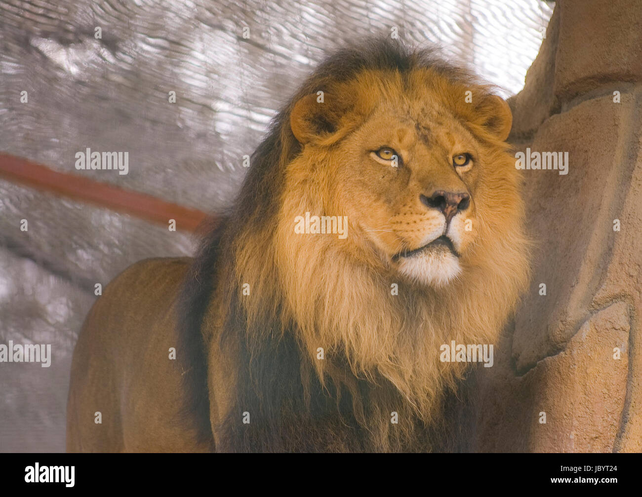 Lion in captivity. Stock Photo