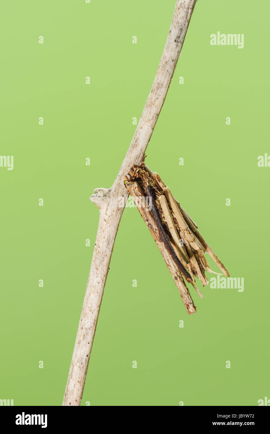 A Bagworm Moth (Psychidae) larval case hangs from vegetation.  Larvae (bagworms) construct the cases around themselves - Stock Image