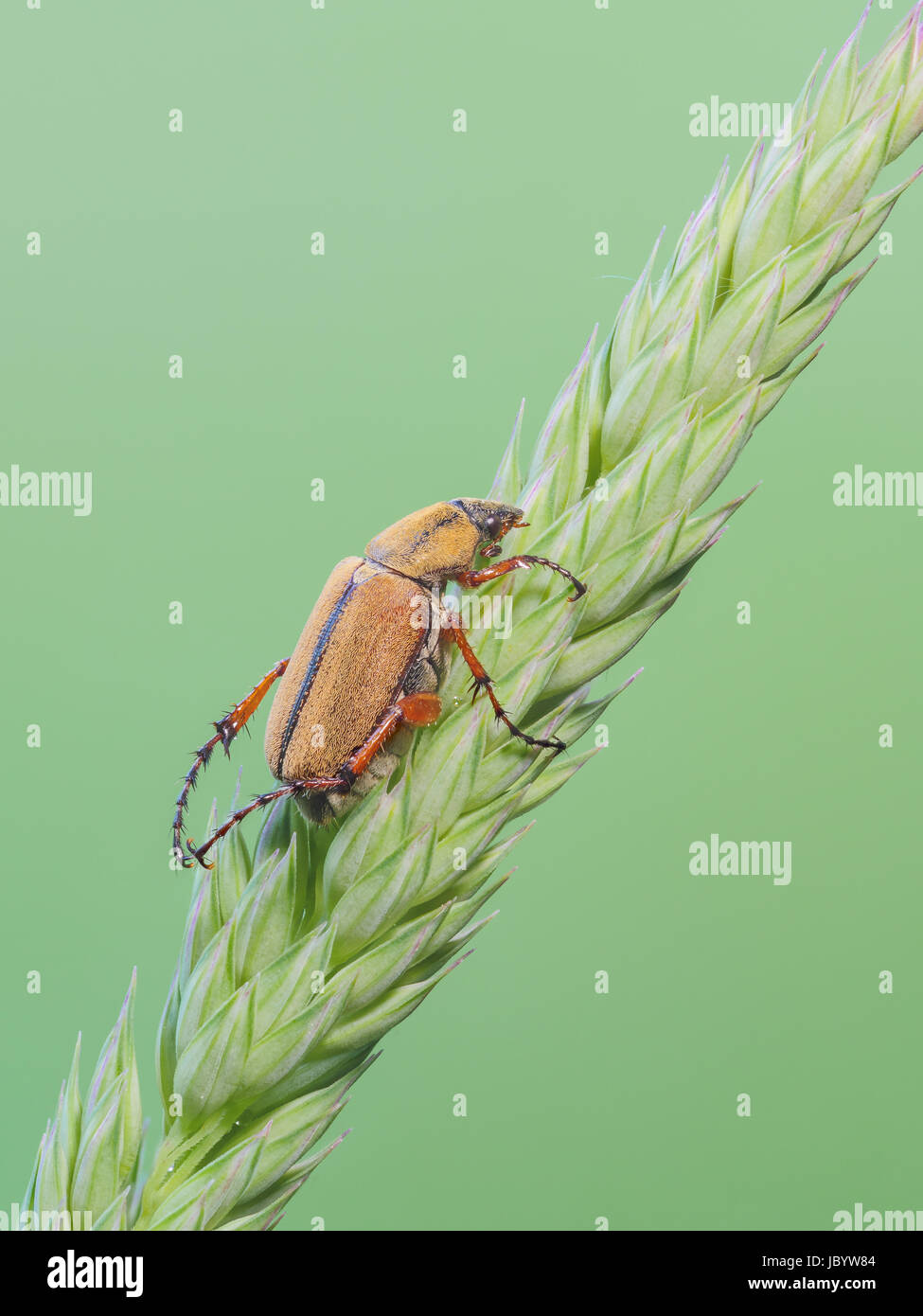 A sleeping Rose Chafer (Macrodactylus suspinosus) perches on a plant. - Stock Image