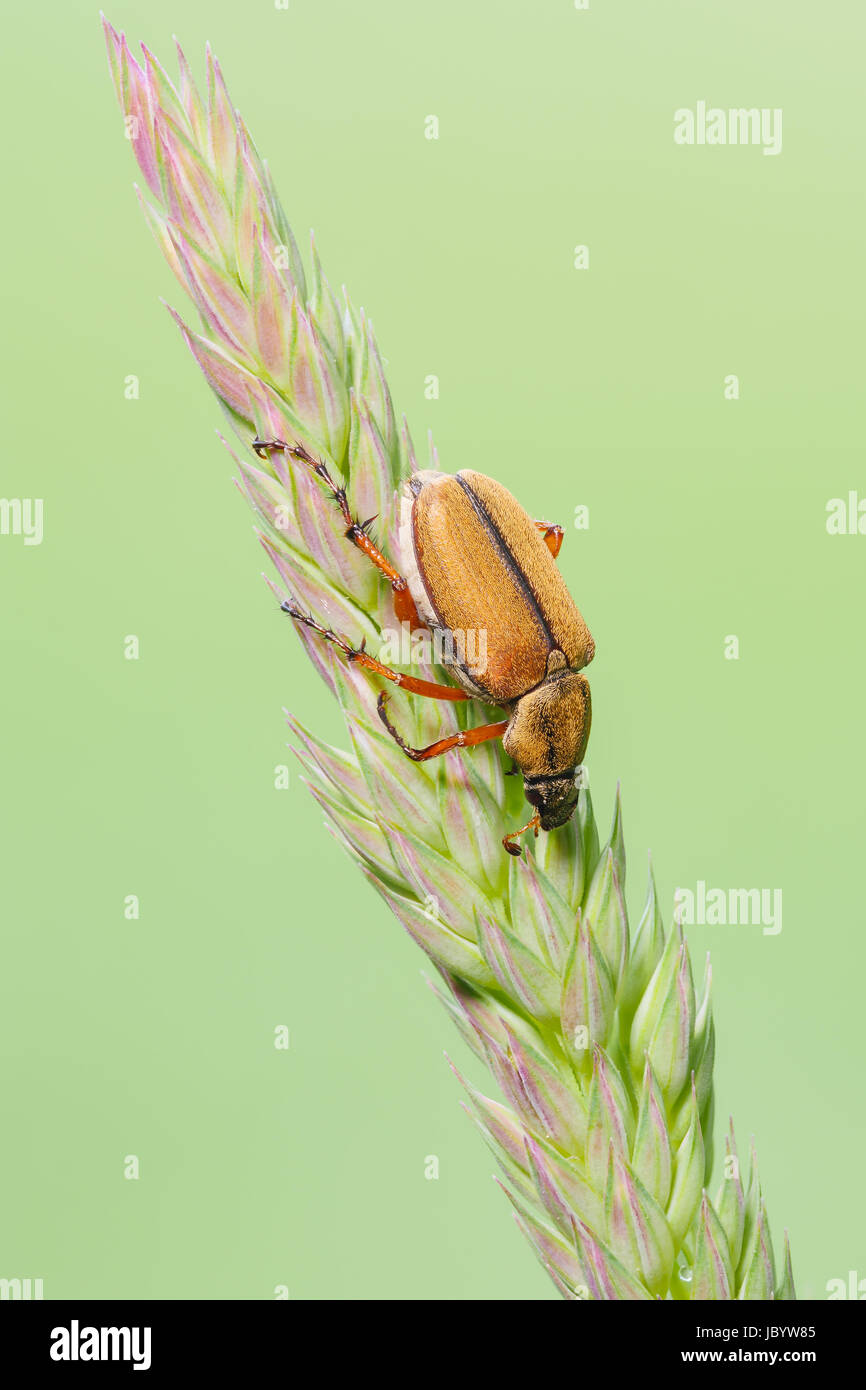A Rose Chafer (Macrodactylus suspinosus) perches on a plant. - Stock Image