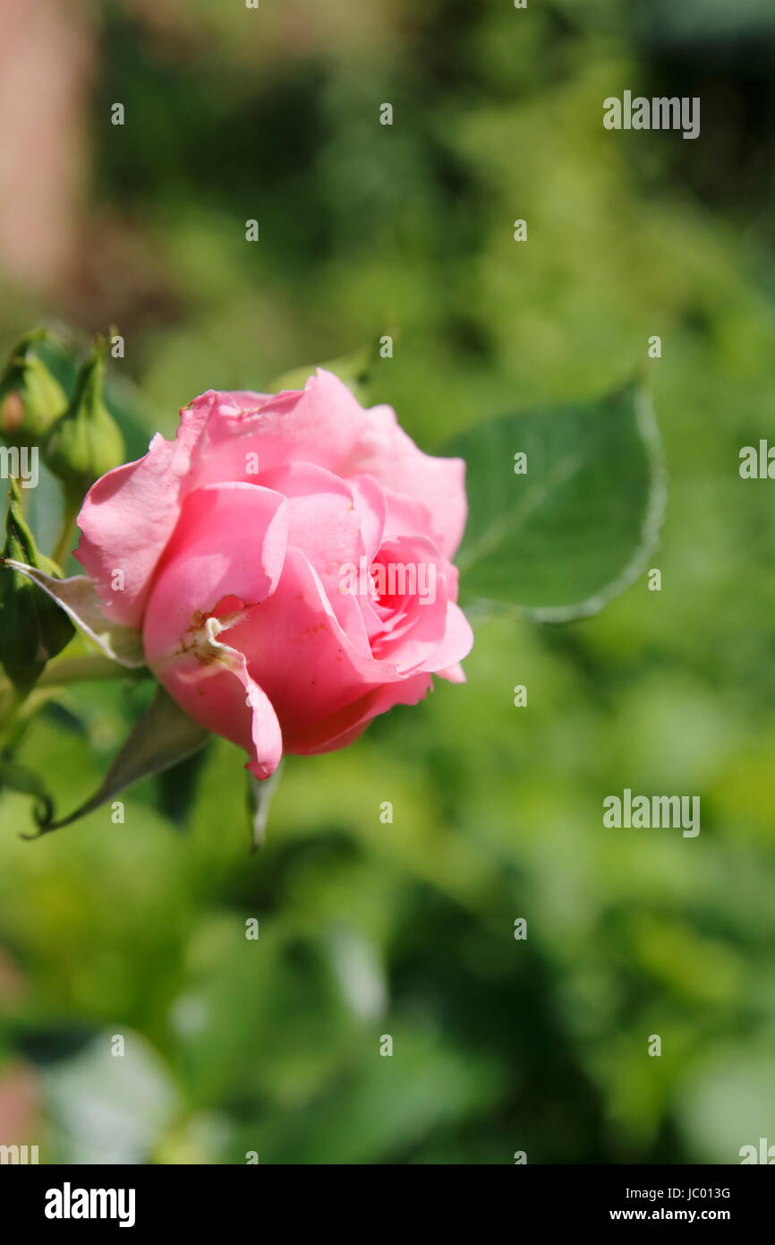 Pink Rosa Rose an Hecke - Stock Image