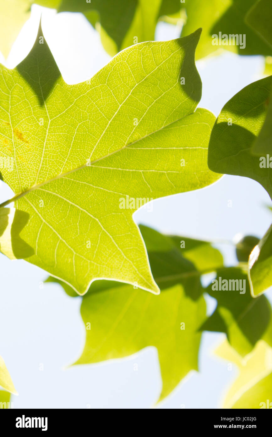 Leaf Canopy - New Beginnings - Stock Image