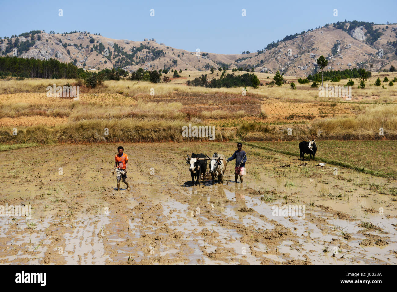 Malagasy farmers plowing their fields as preparation for the next paddy crop. - Stock Image
