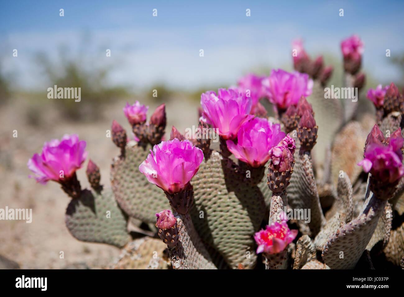 Pink desert flower stock photos pink desert flower stock images beavertail cactus flowers optuntia mojave desert california usa stock image mightylinksfo