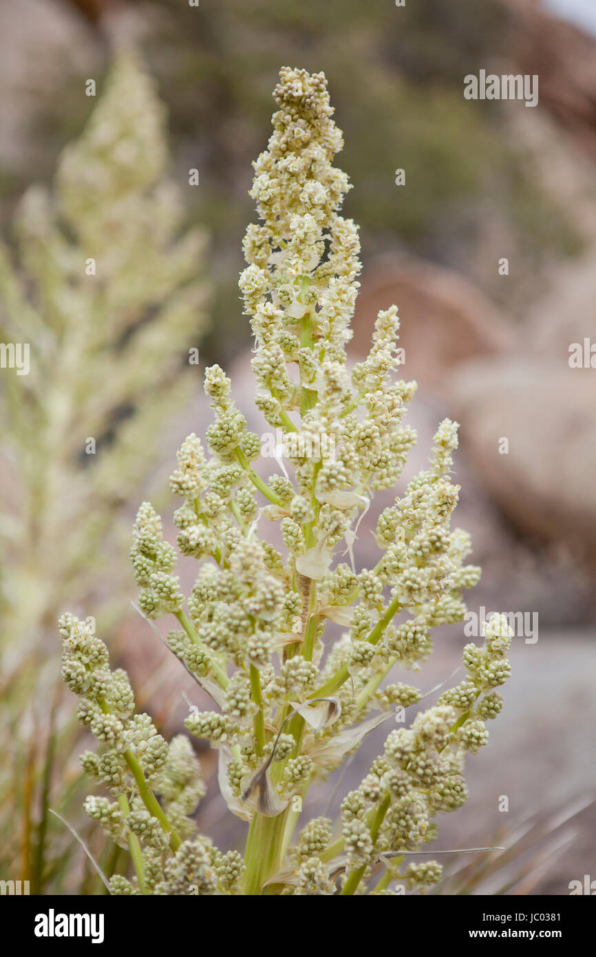 Mojave Yucca plants (Yucca schidigera, aka Spanish dagger), blooming in early spring - Mojave desert, California - Stock Image