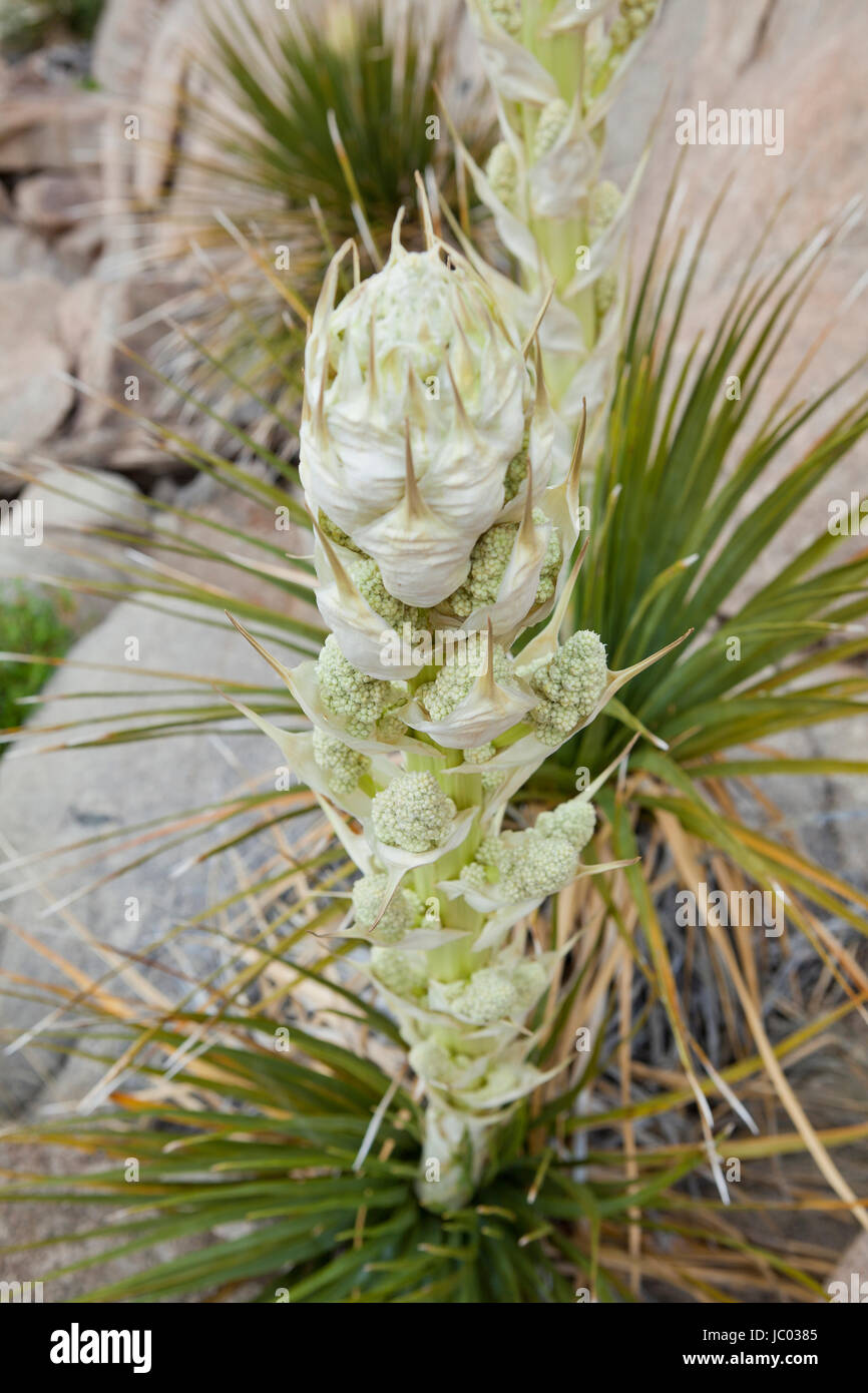 Mojave Yucca plants (Yucca schidigera, aka Spanish dagger), blooming in early spring - Mojave desert, California Stock Photo